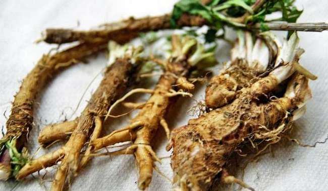 Польза и вред корней цикория