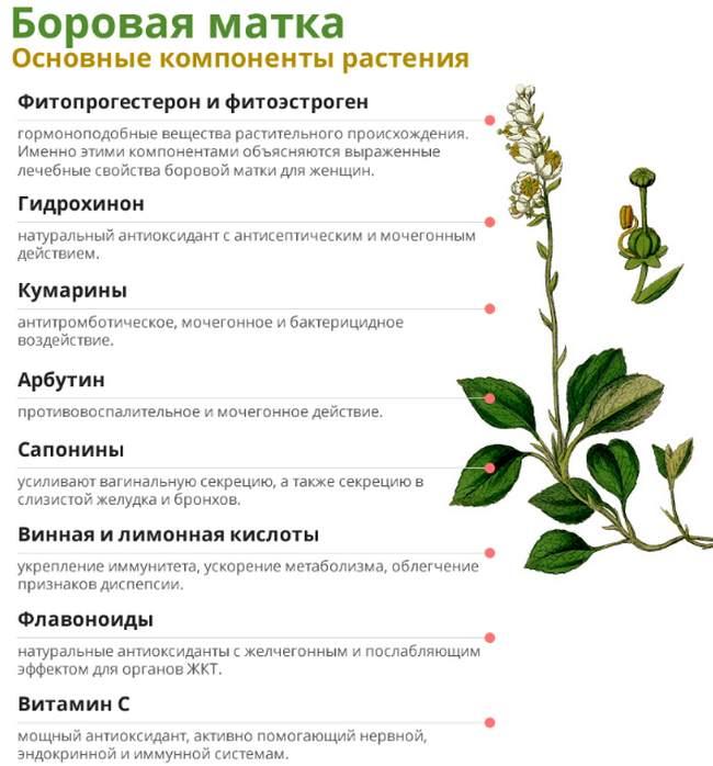 Боровая матка основные компоненты растения