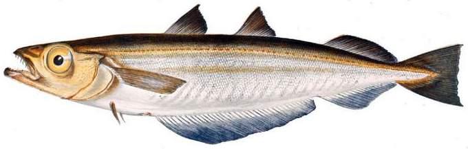 Рыба путассу польза и вред