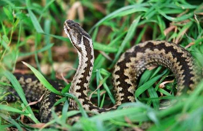 Первая помощь при укусе змеи — что делать при укусах ядовитых змей