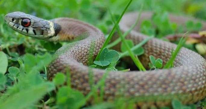 ядовитые змеи помощь при укусе